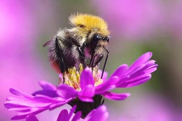 'Mata Lebah' atau 'MataLalat'?